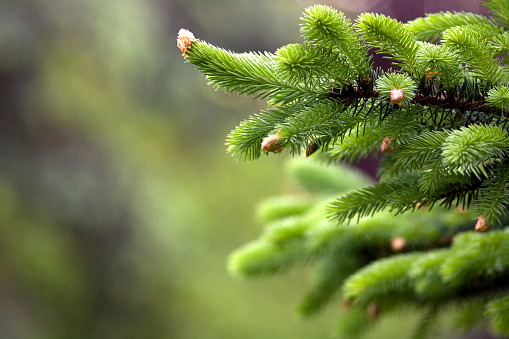 Blooming fir tree