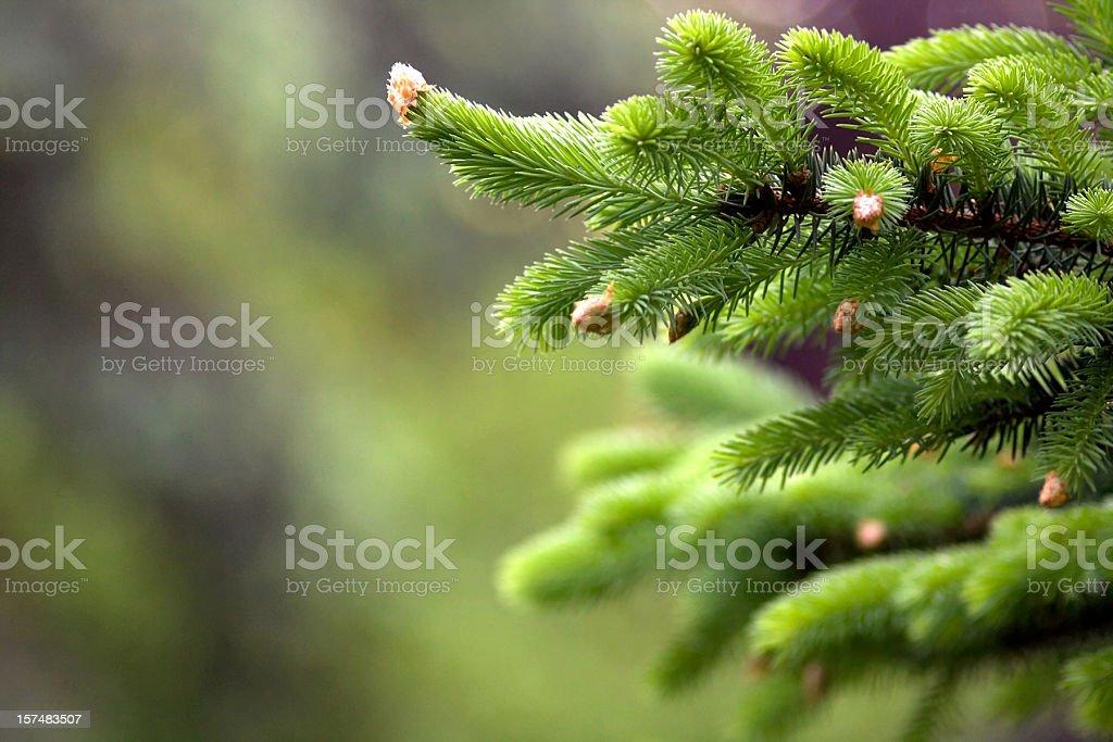 Blooming fir tree stock photo