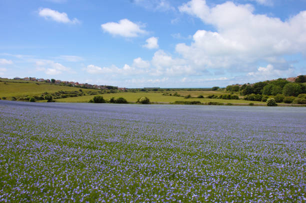 Blooming flax field. Lunum usitatissimum. Sussex, UK. stock photo
