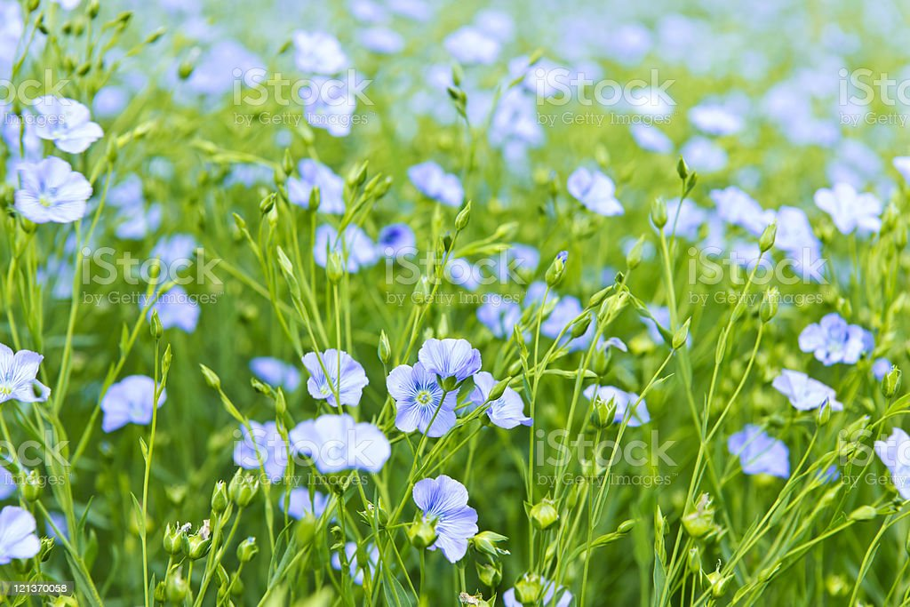 Blooming flax royalty-free stock photo