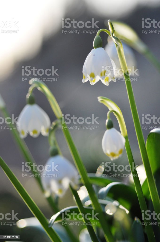 Blooming flower called spring snowflake stock photo