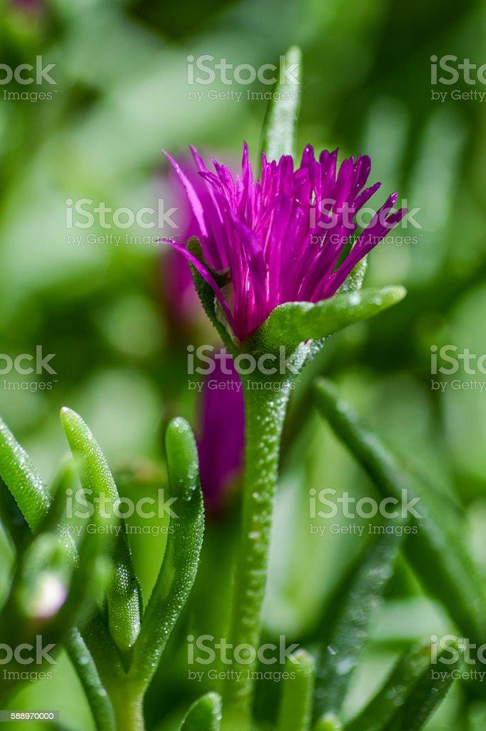 blooming flower of Delosperma cooperi macro stock photo