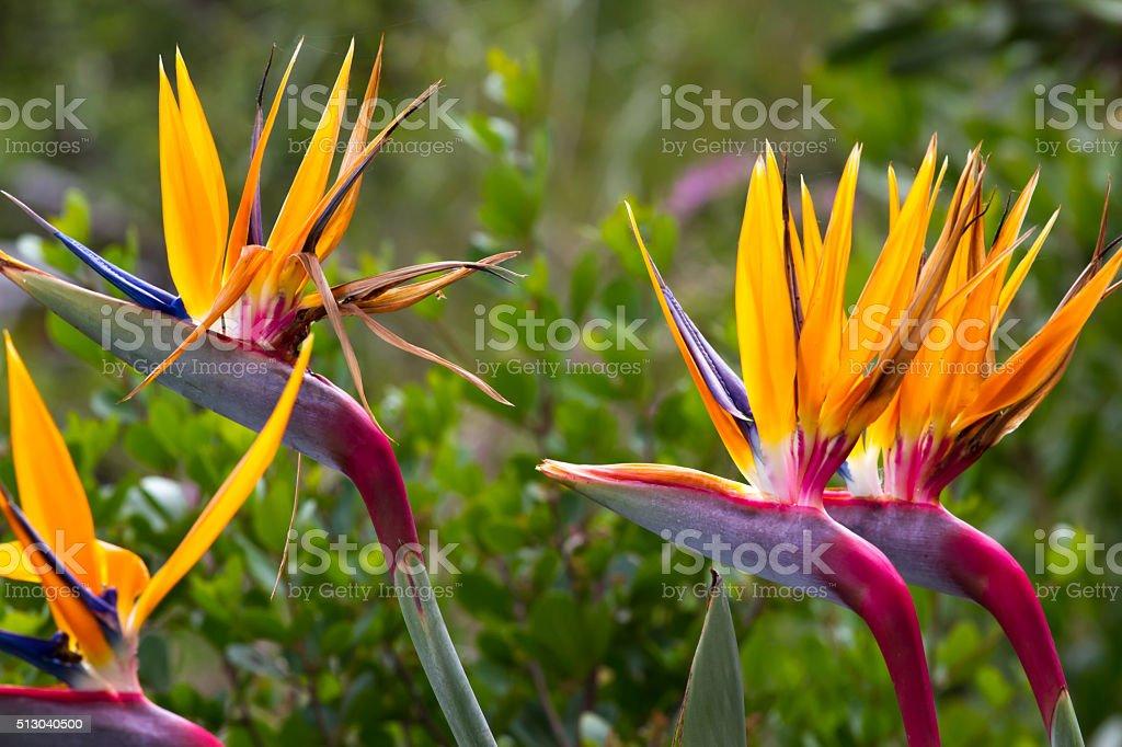Blooming flower of tropical Strelitzia reginae stock photo
