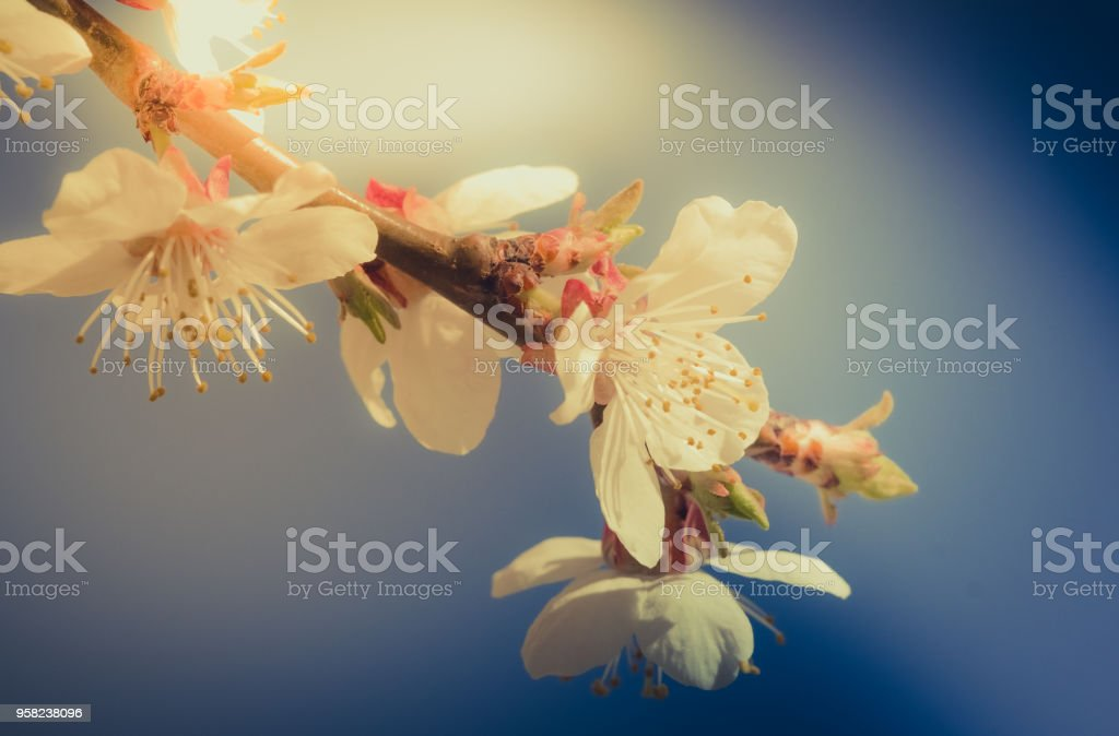 Blooming flowers apricot branch in spring garden stock photo