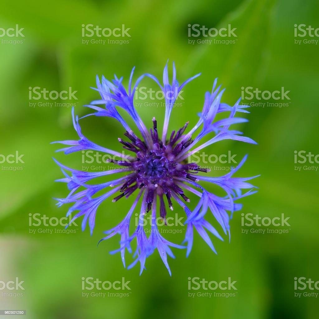 Blooming flowers in early summer-Centaurea - Royalty-free Beauty Stock Photo