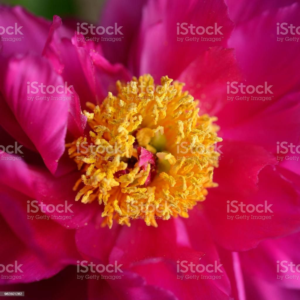 Blooming flowers in early summer-herbaceous peony - Royalty-free Beauty Stock Photo