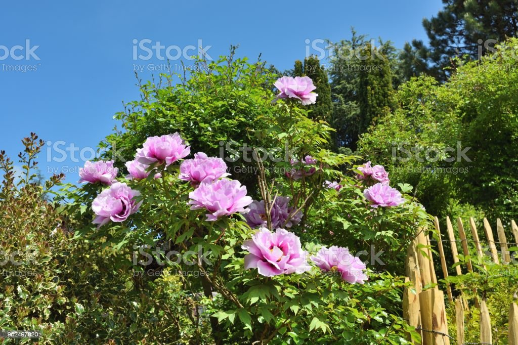 Blühende Blumen im frühen Sommer-Pfingstrose – Foto