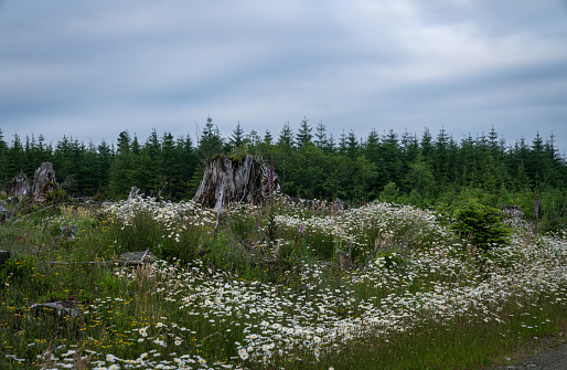 Blooming Flowers In Logged Forest