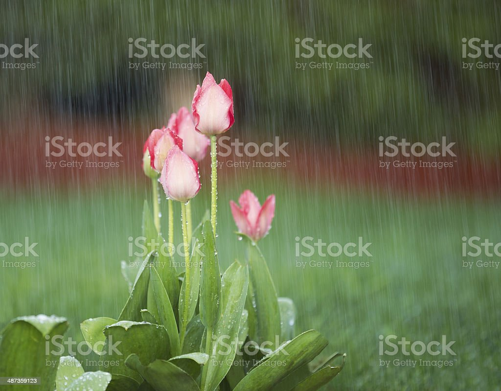 Blooming Flowers in Springtime Rain stock photo