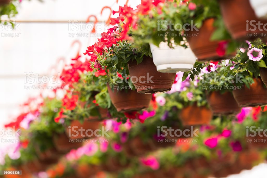 Blooming flowers inside a garden center greenhouse stock photo