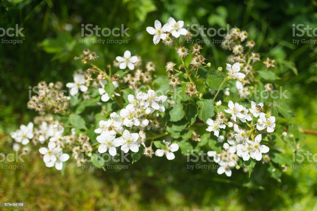 Blooming flowers of Blackberry in the garden royalty-free stock photo