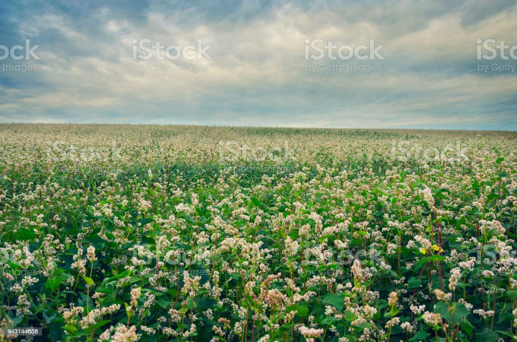 Blooming flowers of buckwheat growing in the field on a background of cloudy dark sky. stock photo