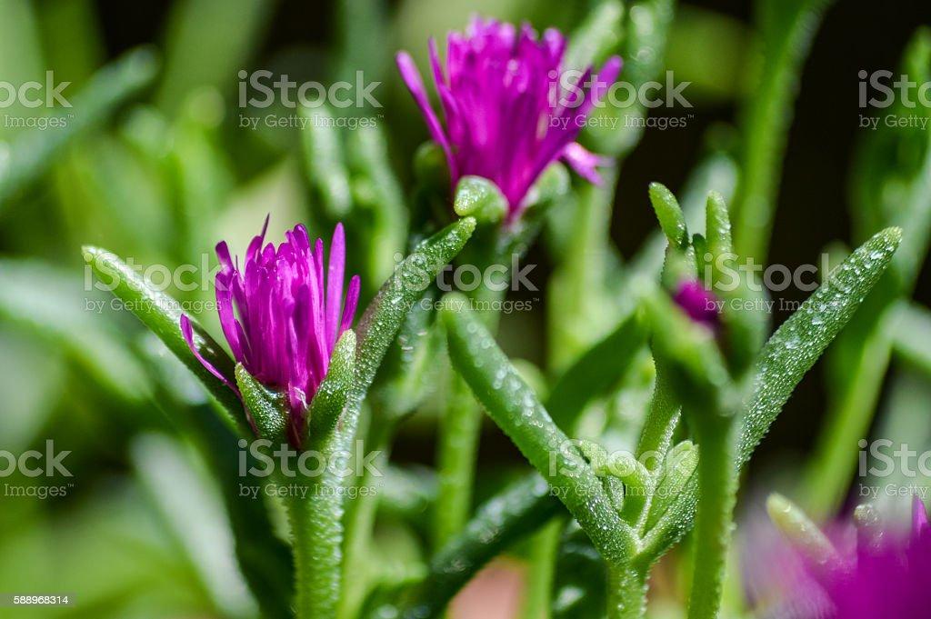 blooming flowers of Delosperma cooperi macro stock photo