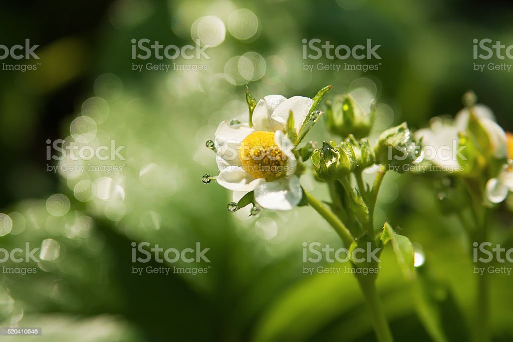 Цветущие цветы и клубники с Роса падает в день. стоковое фото