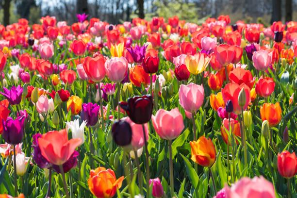 blumen flowers - tulpe stock-fotos und bilder
