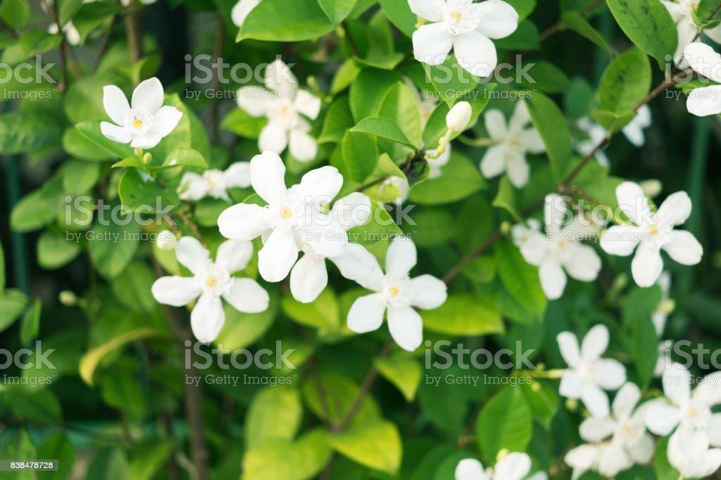Blooming flowers. White Inda from Sri Lanka. Refreshing background stock photo