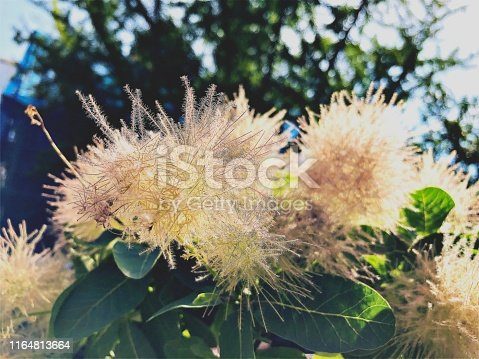 istock Blooming Fluffy Plant 1164813664