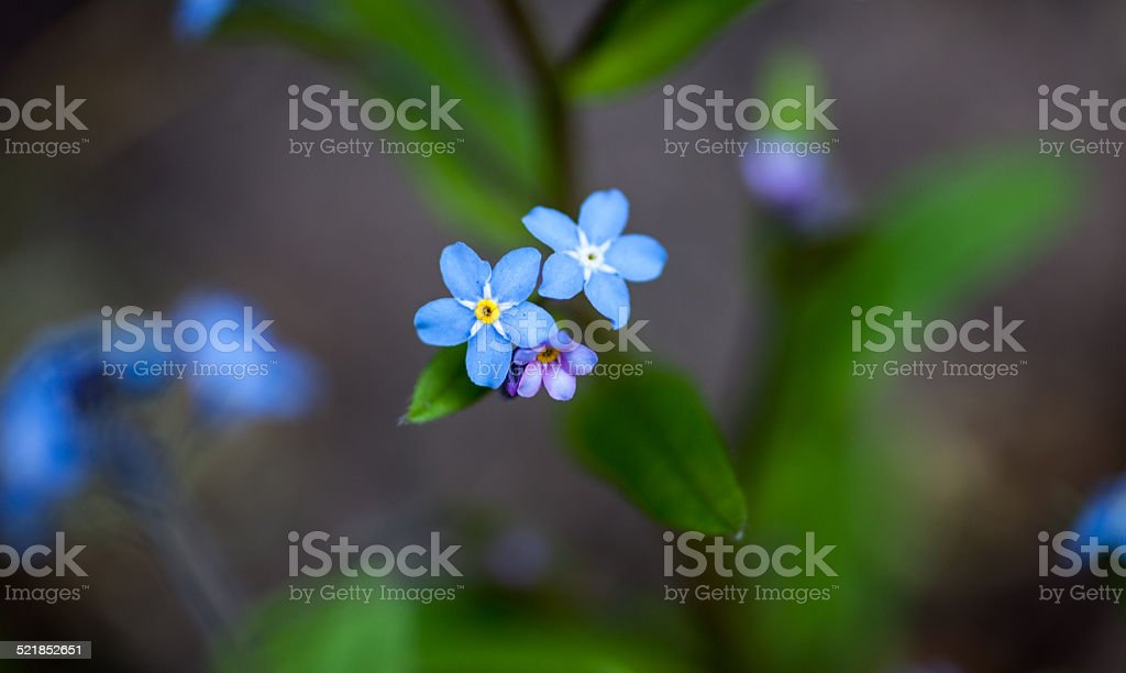 Blooming forget-me-not flowers stock photo