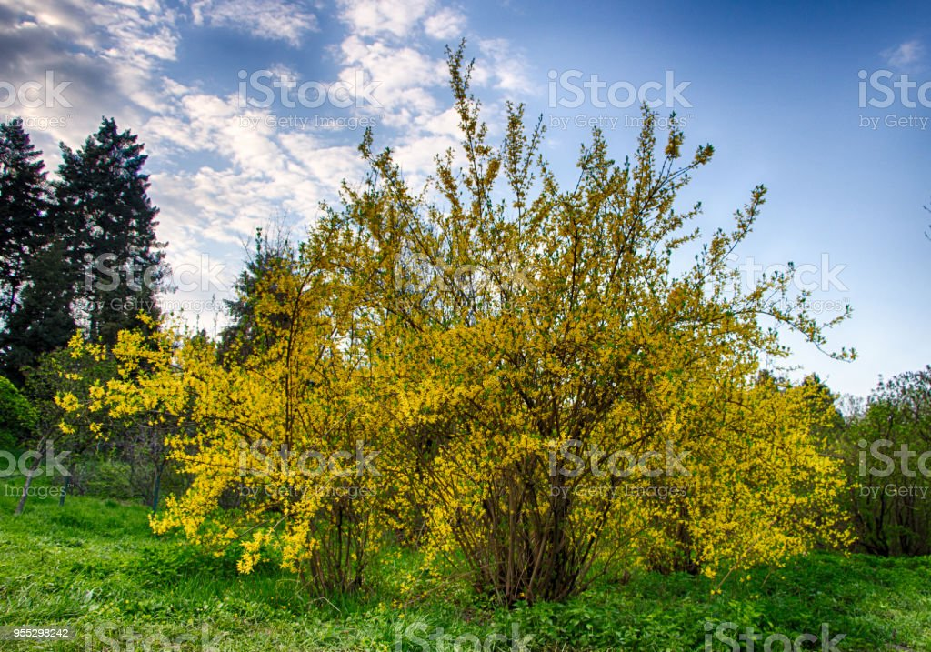 Blooming Forsythia In Early Spring Yellow Flowers Stock Photo More
