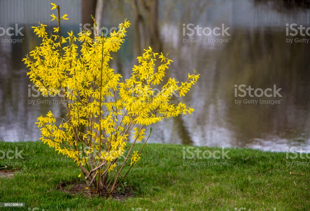 Blooming forsythia in early spring yellow flowers stock photo more blooming forsythia in early spring yellow flowers royalty free stock photo mightylinksfo