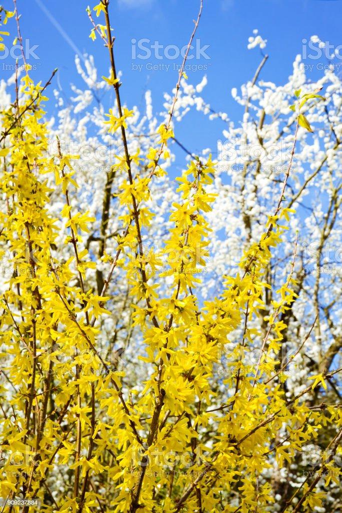 Blühende Forsythien im Frühling – Foto