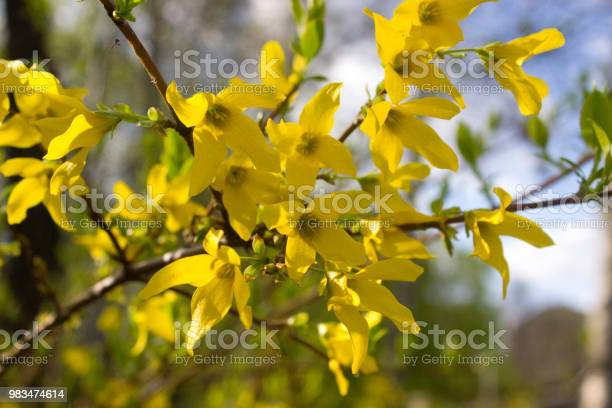 Blooming forsythia picture id983474614?b=1&k=6&m=983474614&s=612x612&h=vamrgsw9 ynkisc9de qy5jkuv061swb7qytwy1aate=