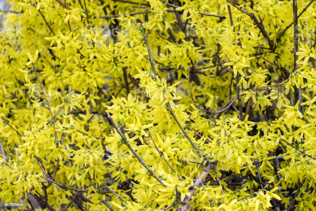 Blooming Forsythia. Shrub of yellow flame (Forsythia europaea) stock photo