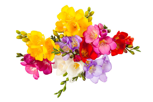 Blooming Freesia stock photo
