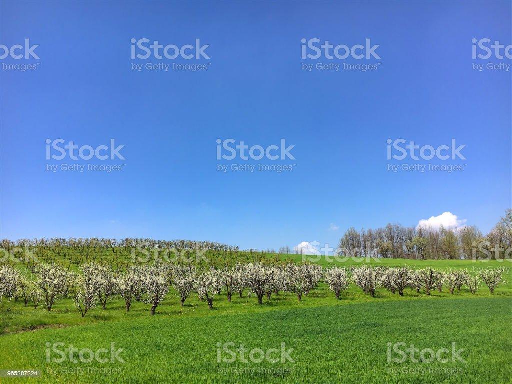 Blooming Fruits Trees in Italy zbiór zdjęć royalty-free