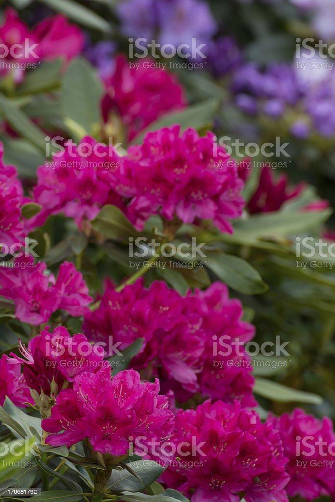 Blooming Fuchsia Rhododendron - XXXL royalty-free stock photo