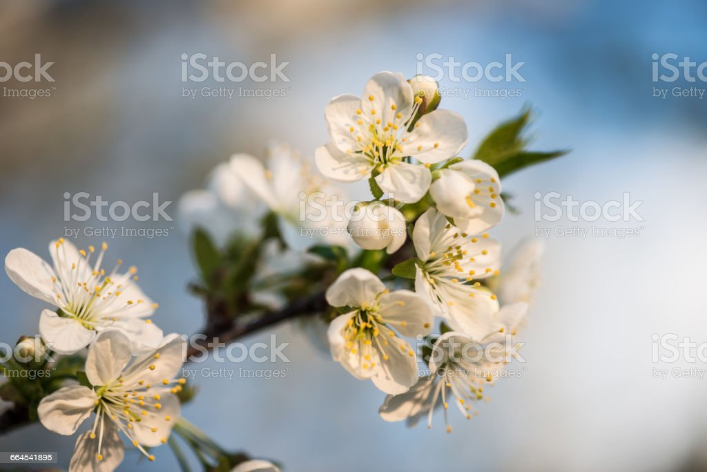Blooming garden. Close-up flowers on tree against blue sky. Spring concept. royalty-free stock photo