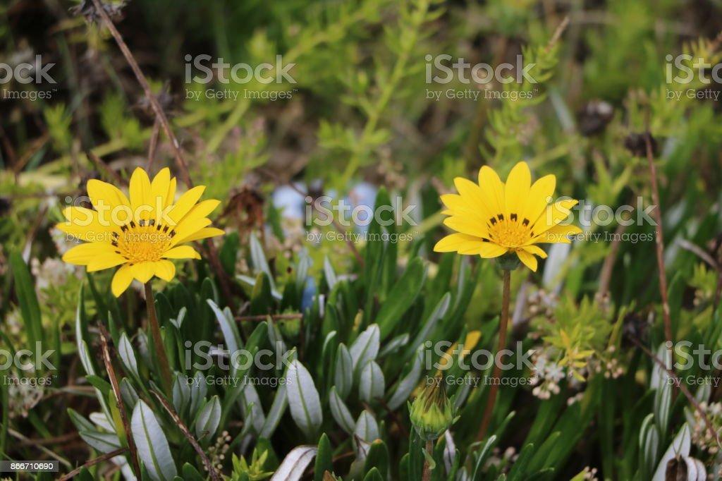 Blooming Gazania Hybride at the coast in Australia stock photo