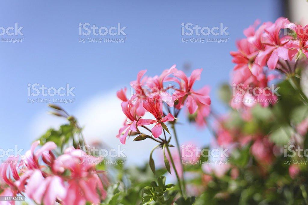 Blühende Geranie vor blauem Himmel – Foto