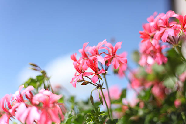 blooming geranium in front of blue sky stock photo