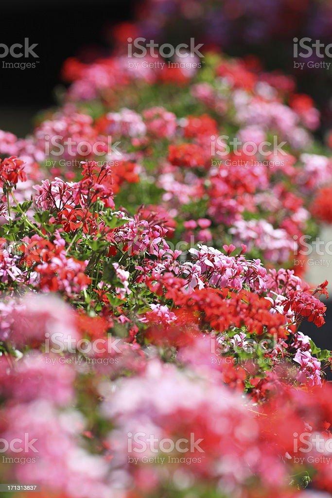 Blühende Geranie – Foto