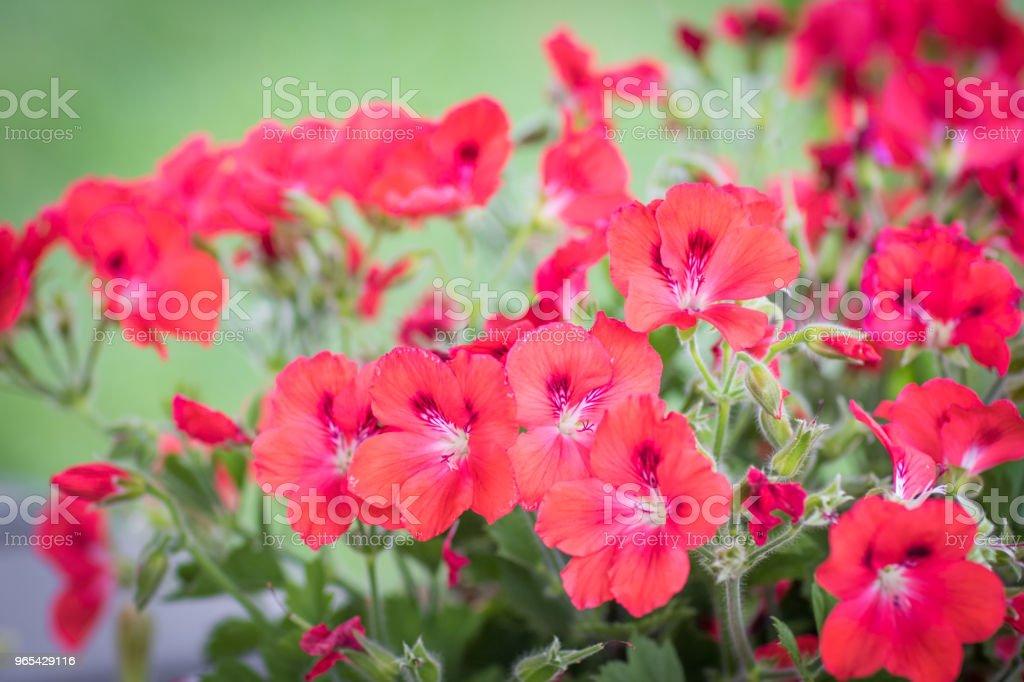 Blooming Geranium zbiór zdjęć royalty-free