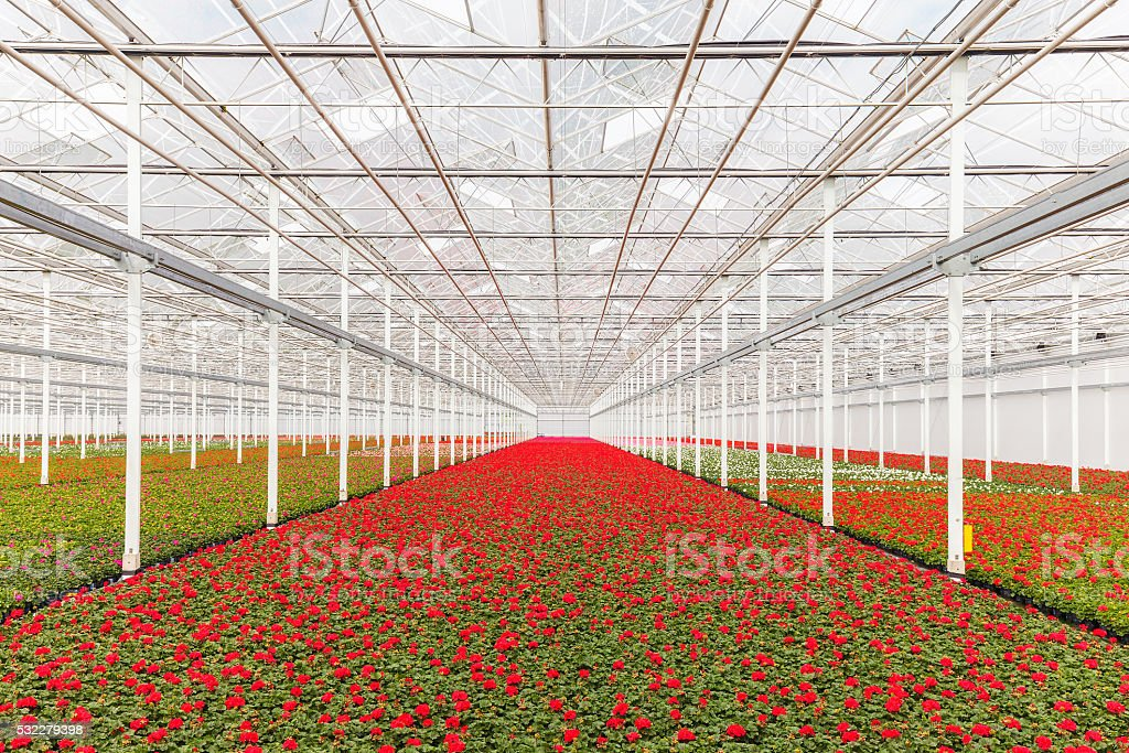 Blooming geranium plants in a greenhouse stock photo