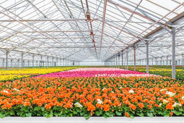 blooming geranium plants in a greenhouse - оранжерея стоковые фото и изображения