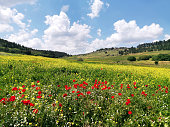 Poppies, chamomile and yellow flowers in springtime in Adulam National Park.
