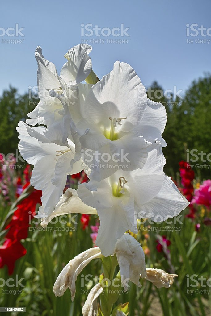 blooming gladioli flowers in summer royalty-free stock photo