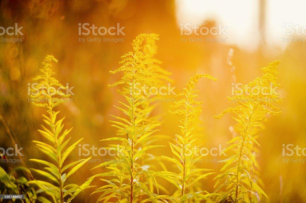 Rozkwiecony Nawłoć o zachodzie słońca – zdjęcie