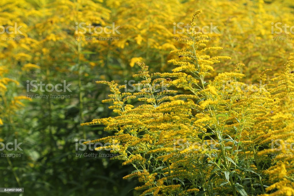 Blooming goldenrod. Solidago, or goldenrods, is a genus of flowering plants in the aster family, Asteraceae – zdjęcie