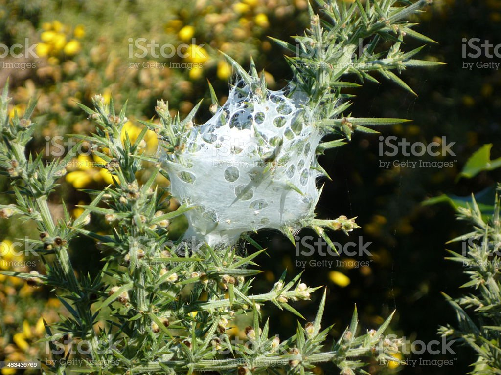 Blooming gorse with spider webs stock photo