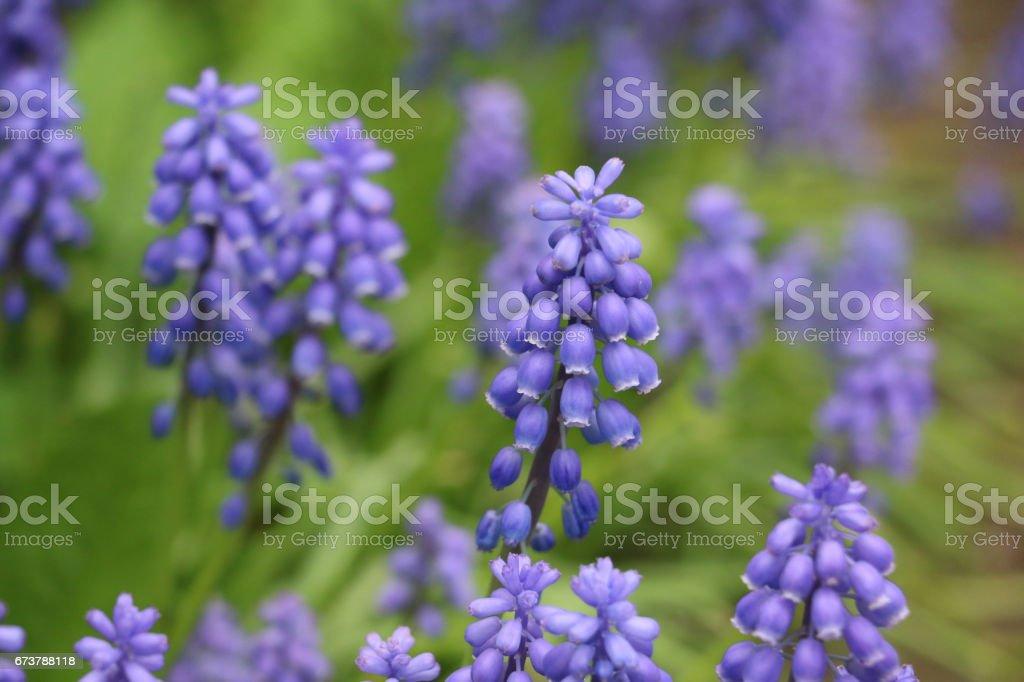 Bir bahar bahçe çiçek açan üzüm sümbül royalty-free stock photo