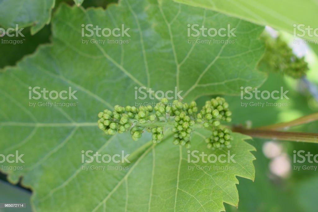 blooming grapes royalty-free stock photo