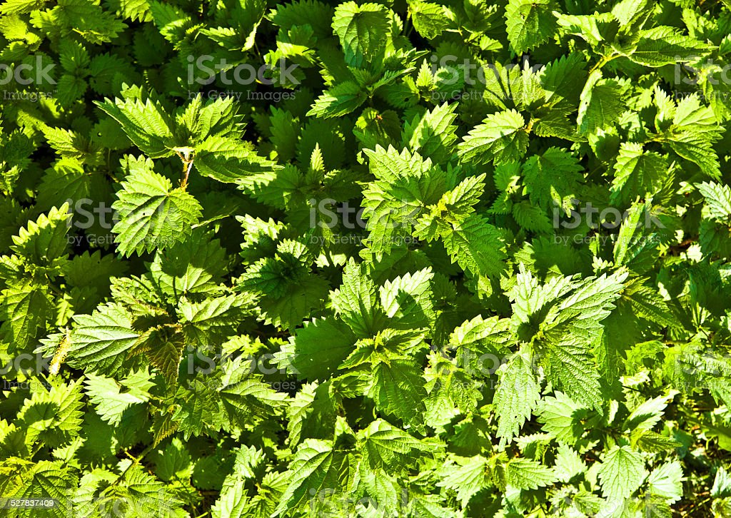blooming green nettle in meadow stock photo