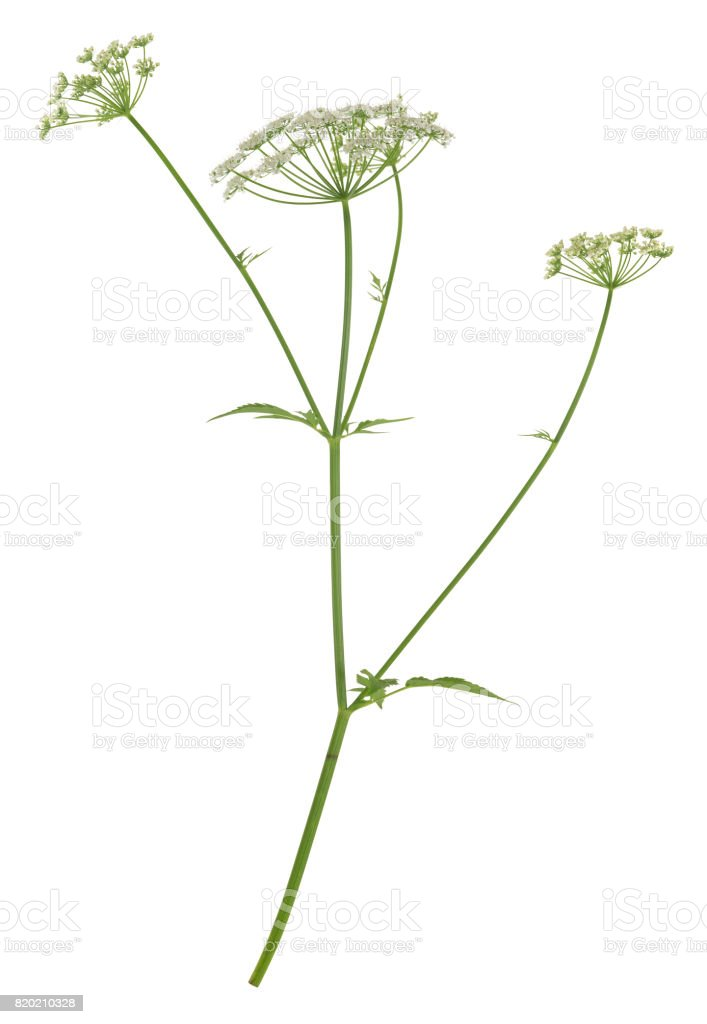 Blooming ground elder, Aegopodium podagraria isolated on white background stock photo