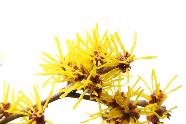 Blühende hamamelis – Foto