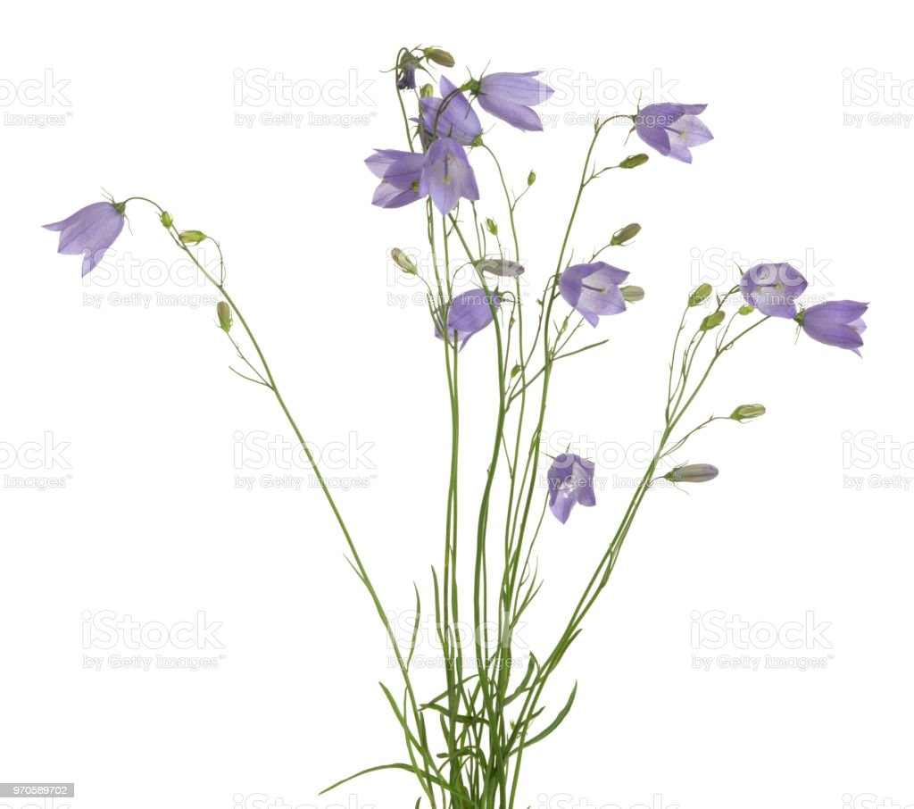 Blooming harebells, Campanula rotundifolia isolated on white background Closeup of blooming harebells, Campanula rotundifolia isolated on white background. Blue Stock Photo