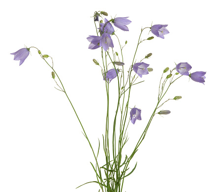 Blooming Harebells Campanula Rotundifolia Isolated On White Background Stock Photo - Download Image Now
